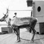 Olga the reindeer, a gift from Murmansk, on HMS Kent